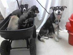 #TEXAS #URGENT ~ ID A395499 thru 504 is a Siberian Husky / Chow mix  family - Momma dog w/ #puppies ALL  in need of a loving #adopter / #rescue at HARRIS COUNTY PUBLIC HEALTH & ENVIRONMENTAL SERVICES  612 Canino Rd  #Houston TX 77076  Ph 281-999-3191