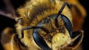 hd andrena rudbeckiae bee macro photography wallpaper download