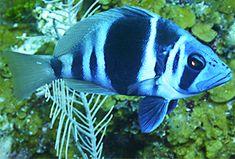 List of marine aquarium fish species Ecuador, Marine Aquarium Fish, Indigo, Ocean Depth, White Bar, Fish Art, Under The Sea, Habitats, Mauve