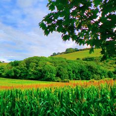 Colourful green maize field at the foot of the South Downs..