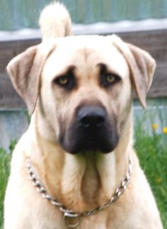 Kangal X Boerboel If We Ever Have Property Amp Get A Dog