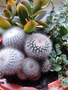 cactus con suculenta y trepadora