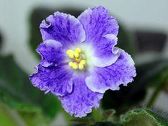 African Violet Sharlene Romantic - Breeder: Arkhipov