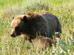 Enjoy the scenery and views of wildlife, such as bears, moose, and bison, in West Yellowstone.