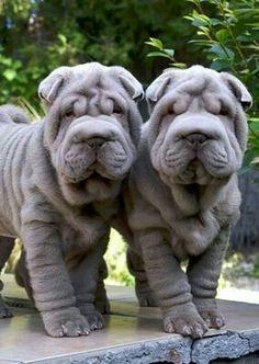 Shar Pei Puppies - oh my gosh, how cute. Shar Pei Puppies - oh my gosh, how cute. Shar Pei Puppies, Cute Puppies, Dogs And Puppies, Sharpei Dog, Dog Shar Pei, Ugly Puppies, Ugly Dogs, Mastiff Puppies, Adorable Dogs