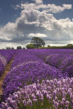 Somerset Lavender, via Flickr.