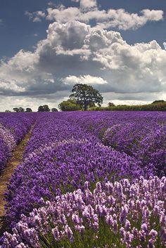 Somerset Lavender, England
