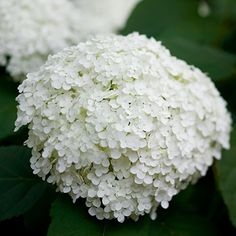 Select only a few different structural plants -- but create impact by massing them together.  White is a top pick for shade gardens to help dim, shady spaces feel lighter and brighter. (Annabelle Hydrangea.)