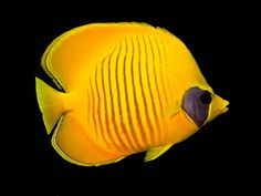 The Butterfly Fish | Andrew Steel | Flickr