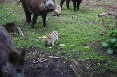 jonge wildse zwijnen in het  sprielderbos bij krachtighuizen(gemeente Putten)