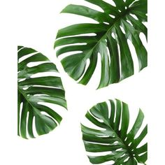 Tropical Leaf, Printable Art, Monstera leaves, Tropical Leaves,... ❤ liked on Polyvore featuring home, home decor, wall art, backgrounds, decor, flowers, borders, detail, embellishment and filler
