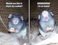 Rats are awesome Funny Rats, Funny Hamsters, Funny Mouse, Cute Rats, Funny Animal Memes, Cute Funny Animals, Ferrets, Animals And Pets, Baby Animals