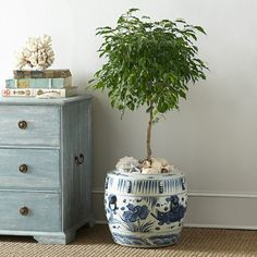 Wisteria Blue and White Cachepot with a weeping fig - ficus tree