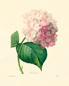 Antique Hydrangea botanical prints Vintage
