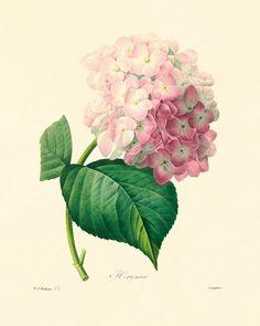Antique Hydrangea botanical prints Vintage by AntiqueWallArt, $10.00
