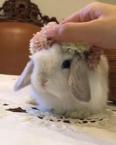 Rabbits are very social animals; Here are the best tips to teach you about bunny care! Bedding ideas, treats and toys for your bunny and other great diy boredom busters! Super Cute Animals, Cute Little Animals, Cute Funny Animals, Cute Cats, Mini Lop Bunnies, Cute Baby Bunnies, Cute Babies, Holland Lop Bunnies, Rabbit Gif
