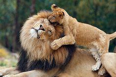 lions :)  || Male Lion with cub