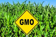 Top 10 GMO Foods to Avoid- Zucchini and Yellow Squash, Corn, Canola Oil, Aspartame, Papayas, Margarine/Shortening, Flaxseed/Flaxseed Oil, High Fructose Corn Syrup, Soy, Sugar.