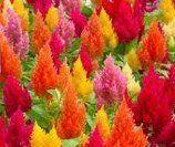 30+ Celosia Flamingo Flower Seeds Mix / Self-seeding Annual…