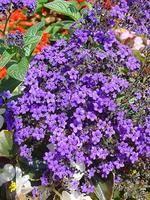 Kerti vaníliavirág (Heliotropium arborescens) / Kertészet tudástár (mérgező)