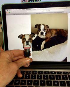 Brindle Boston Terrier wine bottle stopper!