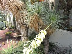 Yucca. http://www.elhogarnatural.com/Arboles/arboles%20fichas/DeTabebiaaziziphus.htm