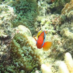 I found nemo #underwater #underwatercamera #greatbarrierreef #clownfish #reef #snorkelling #fish #reeflife #portdouglas #queensland #summer #australia #qld #coral #paradise by periperioz http://ift.tt/1UokkV2