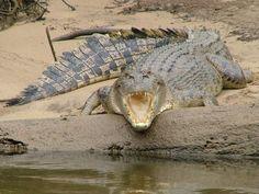 Croc - Daintree
