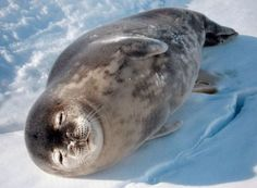 Weddell Seal basking in the sun - Leptonychotes weddellii - Found near the fast ice ice of the Antarctica continent and nearby islands, this seal can weigh up to about 1,200 lb / 544.31 kg. It can dive down to 2,000' / 609.60 m and its call is so loud, a person on top of the ice can hear it - Image : Gary Dowse