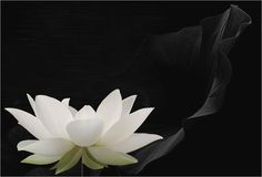 Even in a muddy swamp dark and is able to emerge a beautiful lotus flower. She symbolizes the potential that we humans have to modify any adversity in our lives and gain the victory and happiness.