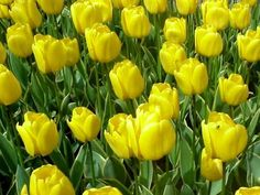 View top-quality stock photos of Closeup Of Yellow Flowers Blooming Outdoors. Find premium, high-resolution stock photography at Getty Images. Cut Flower Garden, Yellow Tulips, Any Images, Cut Flowers, Still Image, Royalty Free Images, Bloom, Plants, Outdoors