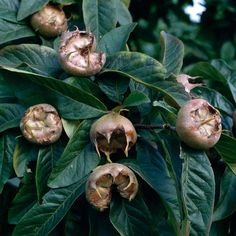 Medlar 'Nottingham' - Apple & Pear Trees - Thompson & Morgan