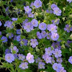 Get more color out of your perennials with this list of long blooming plants. Perennial Geranium, Hardy Geranium, Perennial Plant, Climbing Hydrangea, Climbing Vines, Long Blooming Perennials, Blooming Plants, Flowers, Geraniums