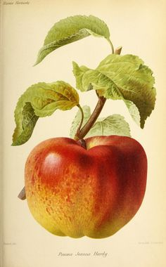 Pomme Jeanne Hardy - Severeyns, G. Apple Illustration, Botanical Illustration, Botanical Flowers, Botanical Prints, Garden Labels, Illustration Botanique, Historia Natural, Fruit Painting, Botanical Drawings