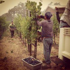 Harvesting Pinot Noir at OGV.