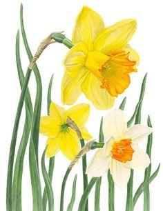 Daffodils by Anna Mason