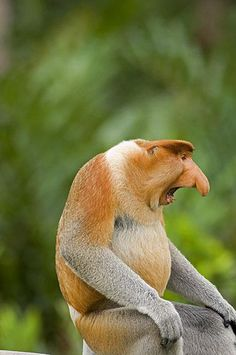 don't you shout at me! The proboscis monkey or long-nosed monkey, known as the bekantan in Malay, is a reddish-brown arboreal Old World monkey that is endemic to the south-east Asian island of Borneo.