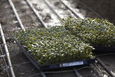 Seedlings ready to be hand planted at Joseph & Sons. California Location, Family Flowers, Delphinium, Flower Farm, How To Dry Basil, Joseph, Sons, Herbs, Plants