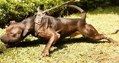 American Pitbull, Misty Forest, Real Dog, Dog Games, Pitbull Terrier, 4x4, Pitbulls, Puppies, Pure Products