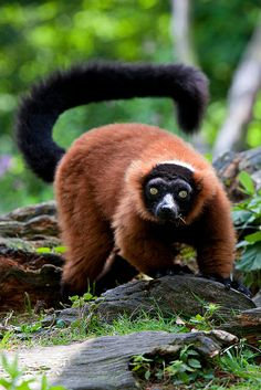 'Red Lemur' - photo by Sera.D., via Flickr;  Eulemur rufus is a species of lemur from Madagascar with a head and body length of 14 - 19 inches, with an 18 - 22 inch long tail. It weighs about 5 pounds. It has a black face, muzzle and forehead, plus a black line from the muzzle to the forehead, with white eyebrow patches. Males have white or cream colored cheeks and beards, while females have rufous or cream cheeks and beards that are less bushy than males.