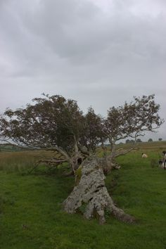 An ancient Rowan tree on the caldbeck moors, Cumbria, UK. The tree is so old, and in such an exposed spot. It is almost horizontal due to prevailing winds. There are pools of water in hollowed out sections. A very powerful, magical tree!