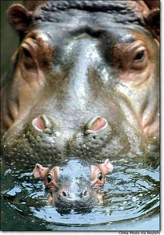 mommy hippopotamus watching newborn baby hippo All I want for Christmas. is a Hippopotamus Song, .my birthday or any holiday for that reason.is a BABY HIPPO! The Animals, Nature Animals, Cute Baby Animals, My Animal, Funny Animals, Wild Animals, Animal Babies, Animals And Their Babies, Mother And Baby Animals