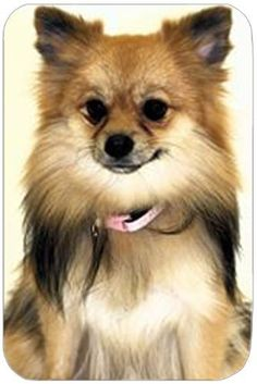 Pomeranian Large Tempered Cutting Board by Doggie of the Day, http://www.amazon.com/dp/B004KFVUA0/ref=cm_sw_r_pi_dp_vv2gsb0T0CPVY
