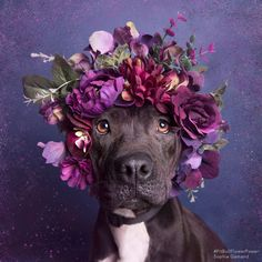 Sean Casey Animal Rescue / Pit bull flower power / Photo: Sophie Gamand