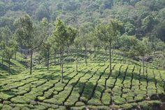 Tea Gardens, Munnar, Kerala, India - Flickr - Photo Sharing!