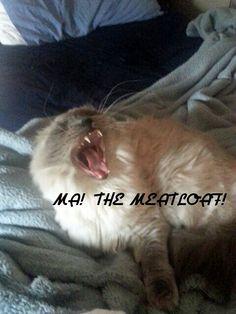 Himalayan cat yawning