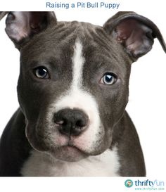 This is a guide about raising a Pit Bull puppy. Pit Bull puppies need the same training and socialization as any puppy. There are some additional steps you can add to your training schedule for these energetic powerful dogs.