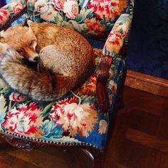 Red Fox, Screen Shot, Fox
