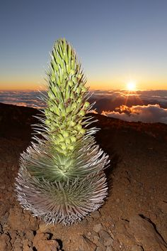 Maui's Sunrise Tour Silversword Plant