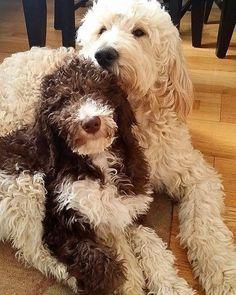 Goldendoodle, Dogs, Animals, Animales, Animaux, Pet Dogs, Doggies, Animal, Animais